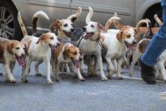 Прогулка города с пакетом собак бигля Стоковое Фото