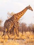 Прогулка жирафа в национальном парке Etosha, Намибии, Африке Стоковое Изображение RF