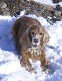 Прогулка зимы с Spaniel кокерспаниеля стоковые фотографии rf