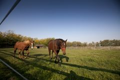 Прогулка 2 коричневая лошадей в paddock Стоковые Фото