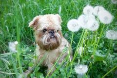 прогулка лета собаки Стоковое Фото