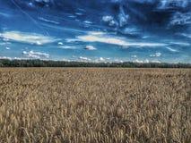 Прогулка на золотом пшеничном поле стоковые фотографии rf