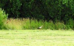 Прогулка птицы аиста в луге, Литве Стоковое Изображение