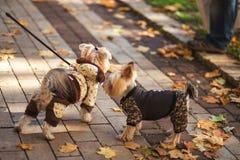 Прогулка 2 собак йоркширского терьера в парке стоковое фото rf
