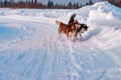 Прогулка с любимчиками Сибирская лайка играя на прогулке зимы Осиплые укус и нажим собак в снеге Стоковое Изображение RF