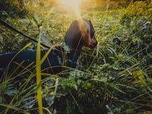 Прогулка таксы собаки на солнечный день Стоковые Изображения