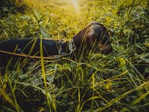 Прогулка таксы собаки на солнечный день Стоковое Изображение