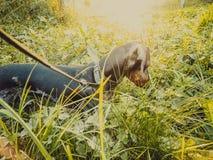 Прогулка таксы собаки на солнечный день Стоковая Фотография