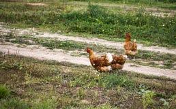 Прогулка цыпленка на дороге стоковое фото rf