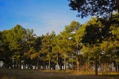 Прогулка через солнечный сосновый лес стоковое фото rf