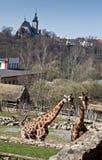 2 прогулки жирафа в зоопарке Стоковые Фотографии RF