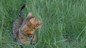 Прогулки кота Бенгалии в траве Он показывает различные эмоции Стоковые Фото