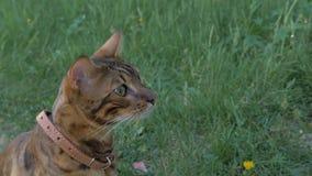 Прогулки кота Бенгалии в траве Он показывает различные эмоции Стоковая Фотография