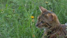 Прогулки кота Бенгалии в траве Он показывает различные эмоции Стоковое Изображение RF