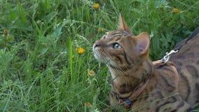 Прогулки кота Бенгалии в траве Он показывает различные эмоции Стоковые Фотографии RF