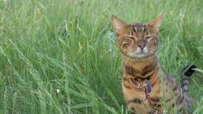Прогулки кота Бенгалии в траве Он показывает различные эмоции Стоковое Фото