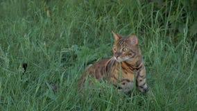 Прогулки кота Бенгалии в траве Он показывает различные эмоции Стоковая Фотография RF