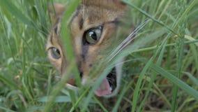 Прогулки кота Бенгалии в траве Он показывает различные эмоции Стоковые Изображения RF