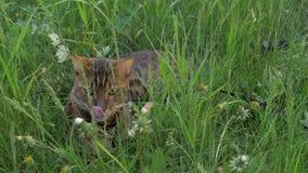 Прогулки кота Бенгалии в траве Он показывает различные эмоции Стоковые Изображения