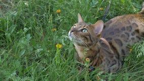 Прогулки кота Бенгалии в траве Он показывает различные эмоции Стоковое Изображение