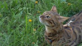 Прогулки кота Бенгалии в траве Он показывает различные эмоции Стоковое фото RF