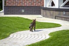 Прогулки кота вокруг двора стоковые фотографии rf