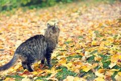 Прогулки кота на упаденных листьях стоковые изображения rf