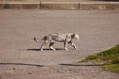 Прогулки кота независимого вокруг улицы Стоковые Изображения RF
