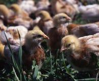 прогулки цыпленка Стоковое Фото