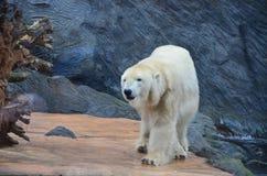 Прогулки Big Bear стоковое изображение rf