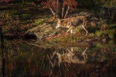 Прогулки latrans волка койота выведенные на остров Стоковое Фото