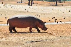 Прогулка бегемота о озере Стоковая Фотография RF