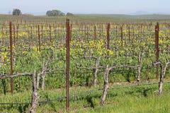 Прогулка в виноградниках Стоковое фото RF