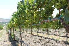 Прогулка в виноградниках Стоковое Изображение RF
