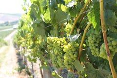 Прогулка в виноградниках Стоковая Фотография