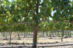 Прогулка в виноградниках Стоковые Изображения