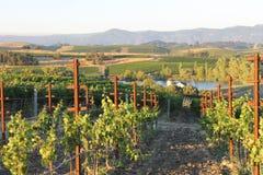 Прогулка в виноградниках Стоковые Фото