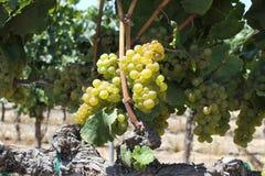 Прогулка в виноградниках Стоковые Фотографии RF