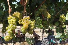 Прогулка в виноградниках Стоковая Фотография RF