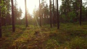 Прогулка в отснятом видеоматериале движения forestSlow лета съемка steadicam Животный взгляд акции видеоматериалы