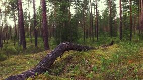 Прогулка в отснятом видеоматериале движения forestSlow лета съемка steadicam Животный взгляд сток-видео