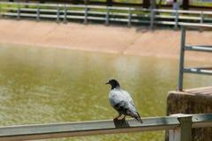 Прогулка голубя в парке Стоковое Изображение RF