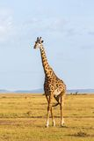 Прогулка жирафа на саванне Стоковая Фотография