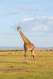 Прогулка жирафа на саванне Стоковое Изображение