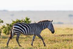 Прогулка зебры на саванне Стоковые Изображения
