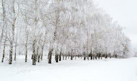 Прогулка зимы через красивую рощу березы Стоковые Фотографии RF