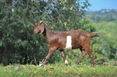 Прогулка козы на траве Стоковые Фото
