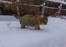 Прогулка кота на снеге зимы Стоковое Фото