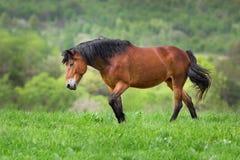 Прогулка лошади залива Стоковая Фотография