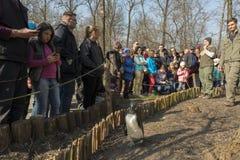 Прогулка пингвина в зоопарке Стоковые Фото